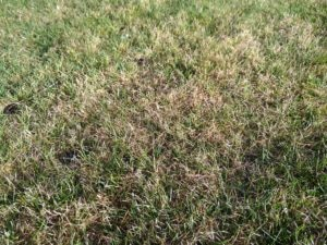 Read more about the article Why is my grass turning yellow and dying?