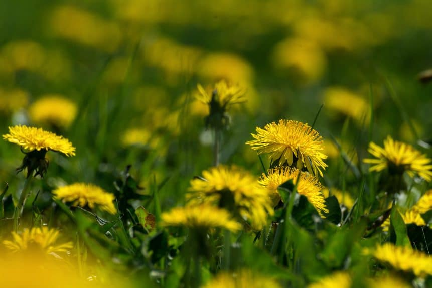 You are currently viewing How to remove dandelions from lawn
