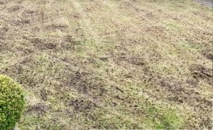 Read more about the article My scarified lawn looks terrible, should I be worried?