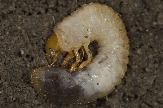 Chafer grub in lawn. http://www.forestryimages.org/browse/detail.cfm?imgnum=5343065  David Cappaert