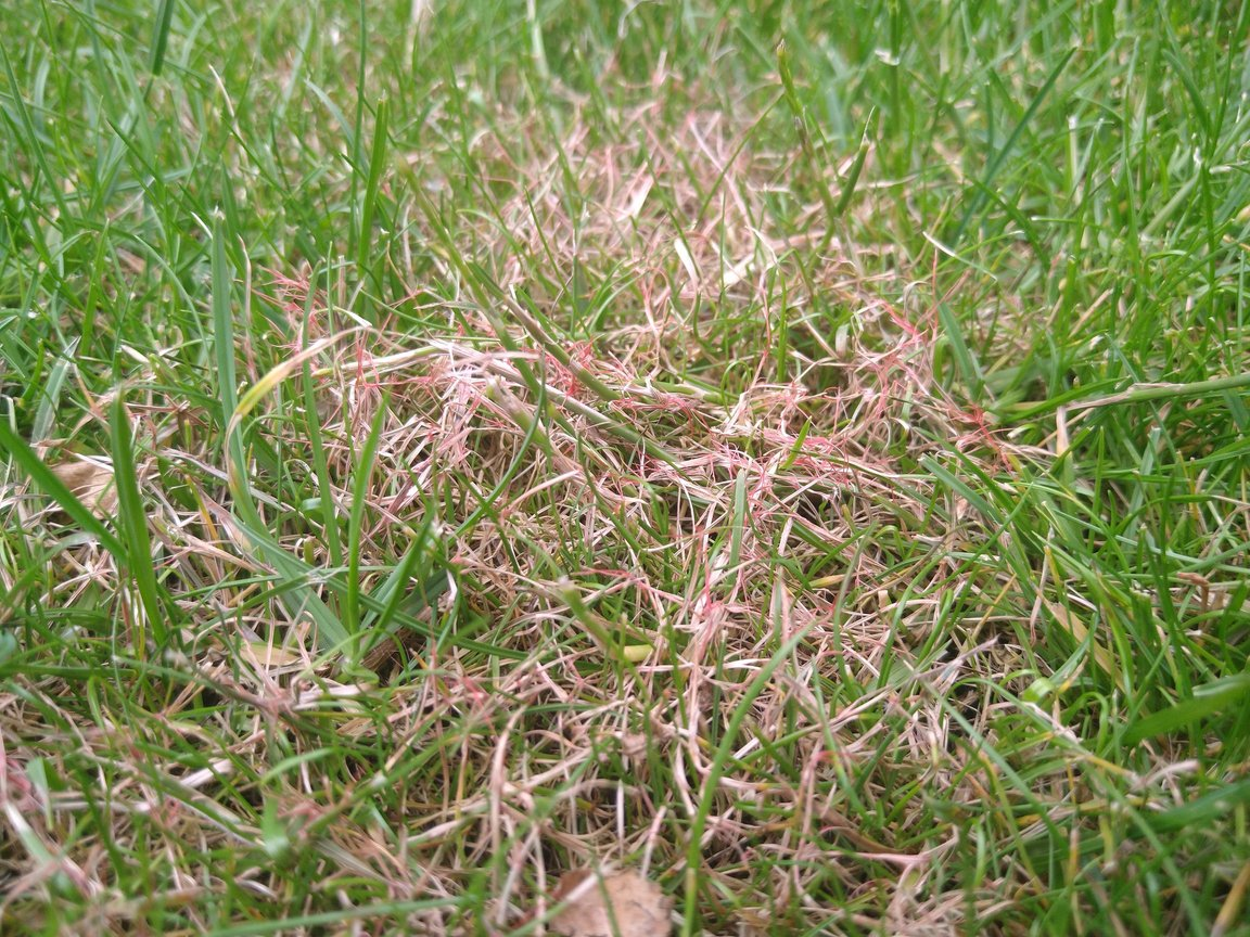 Read more about the article Why is my grass red? (6 ways to get rid of red thread)